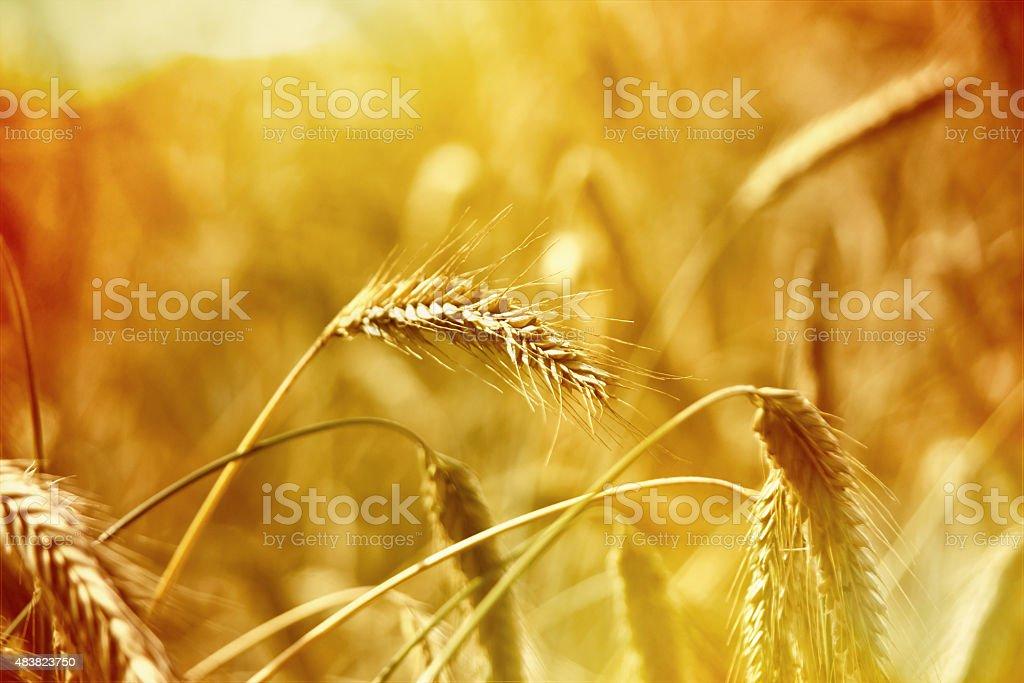 Ear or Rye stock photo