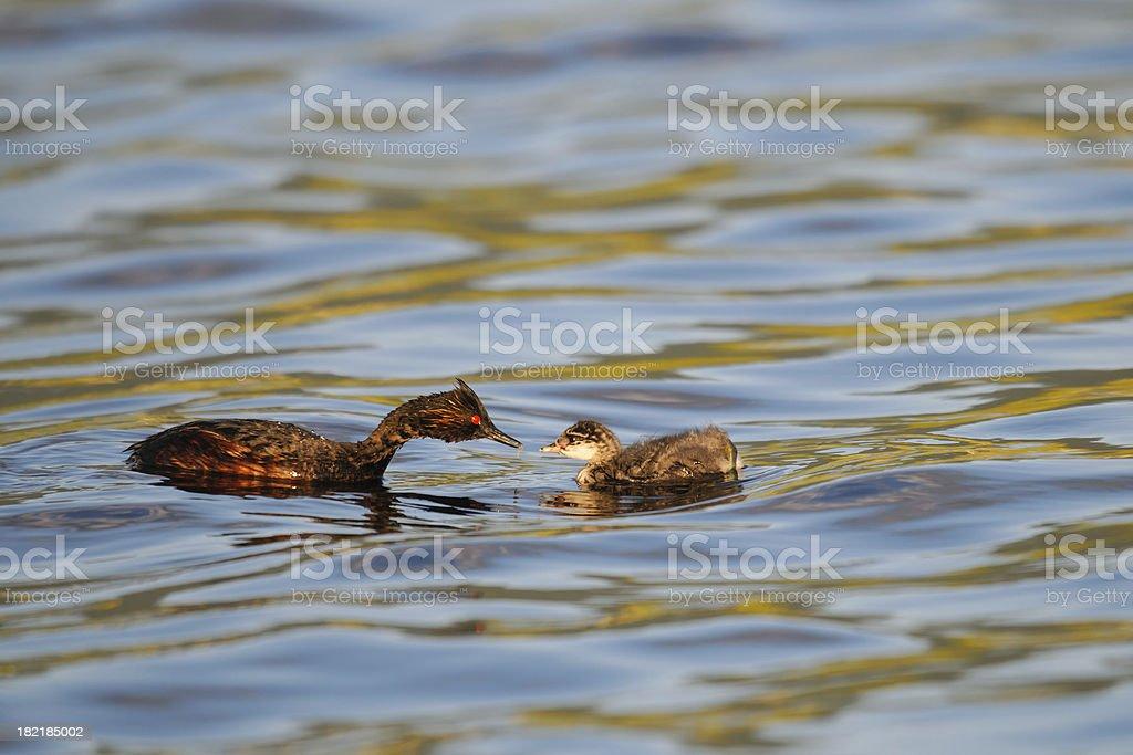 Eared Grebe (Podiceps nigricollis) royalty-free stock photo