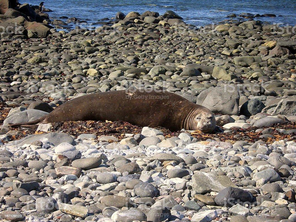 Eared Seal On King George Island stock photo