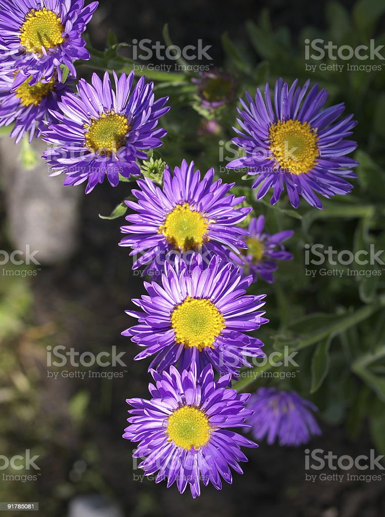 Early alpine aster stock photo