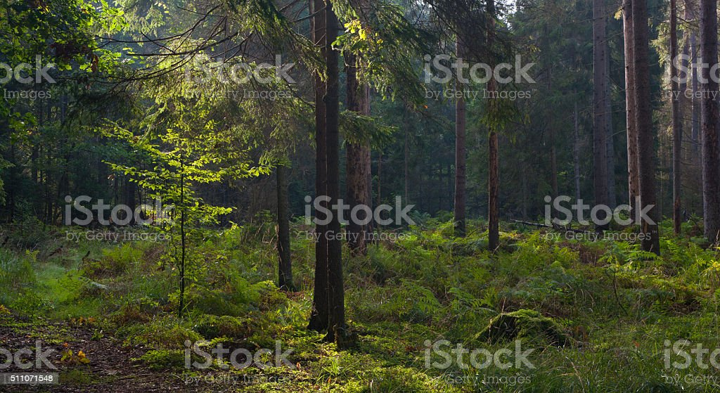 Early autumn morning in the forest stock photo