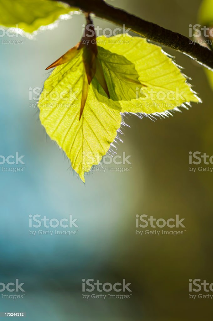 Early Beech tree leaves royalty-free stock photo