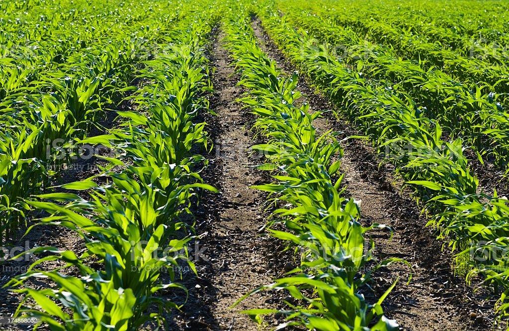 Early Corn Rows stock photo