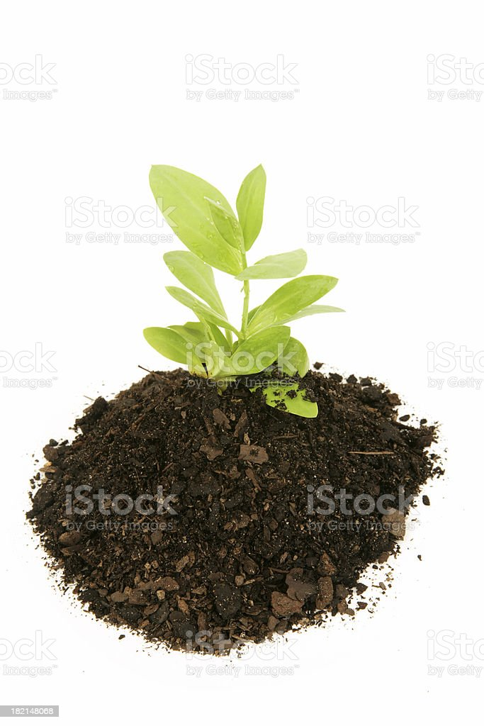 Early Growth royalty-free stock photo