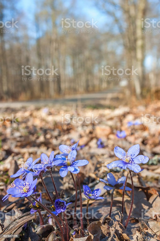 Early liverwort flowers in spring stock photo