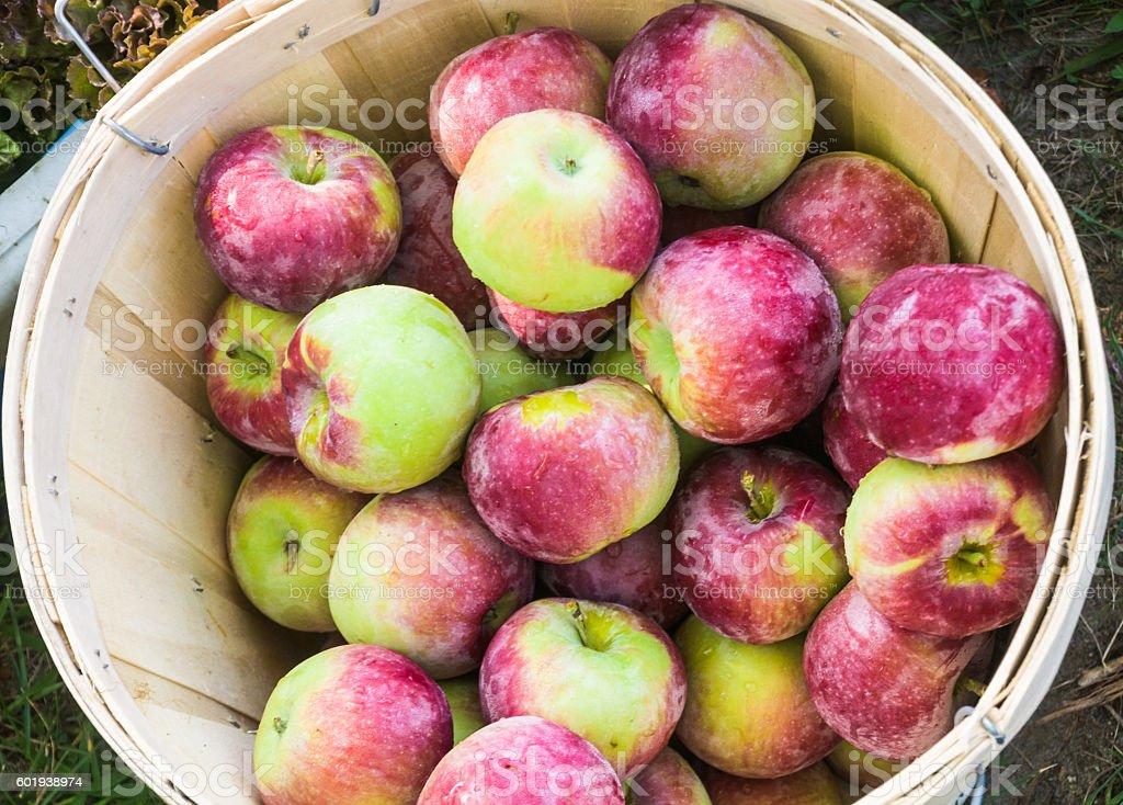 Early Macintosh Apples stock photo