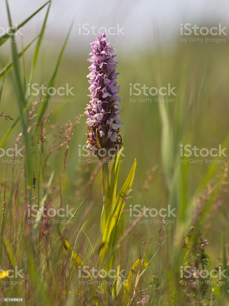 Early Marsh Orchid flower in natural grassland stock photo