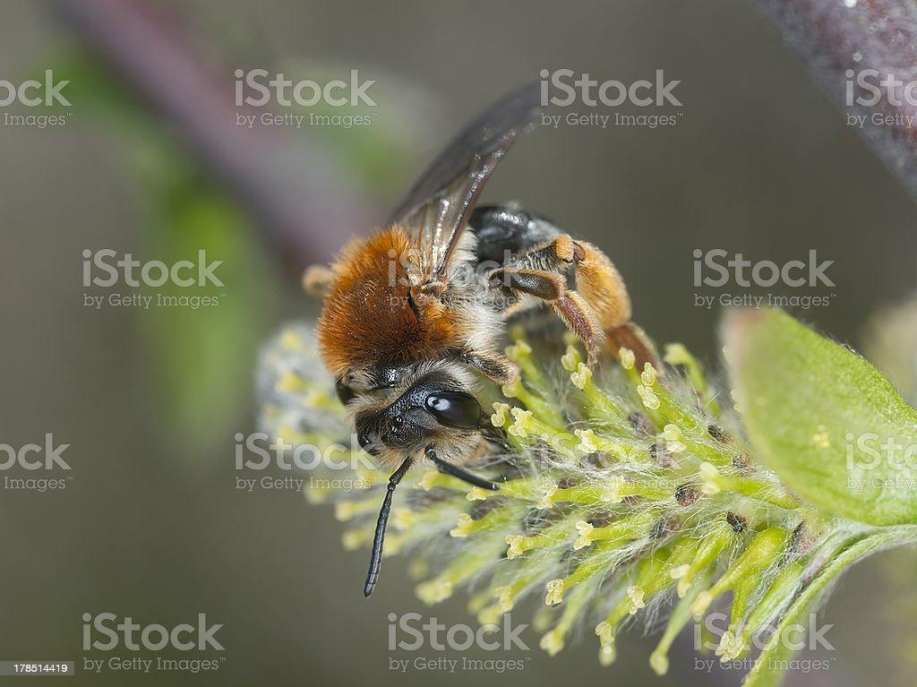 Early mining bee, Andrena haemorrhoa feeding on blooming willow stock photo