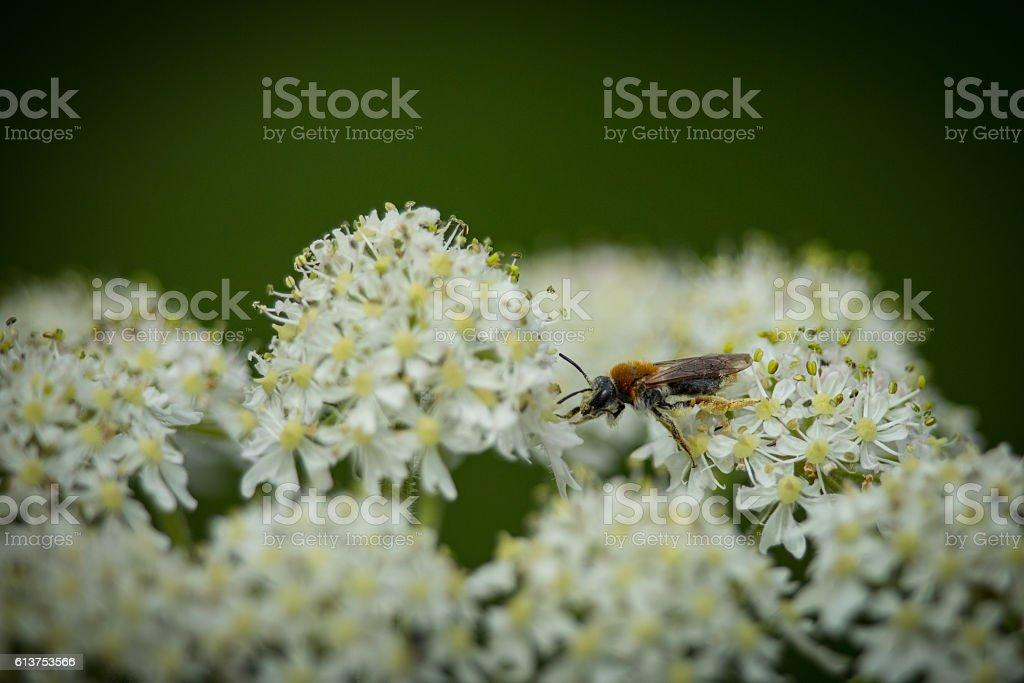 Early Mining Bee (Andrena haemorrhoa) stock photo