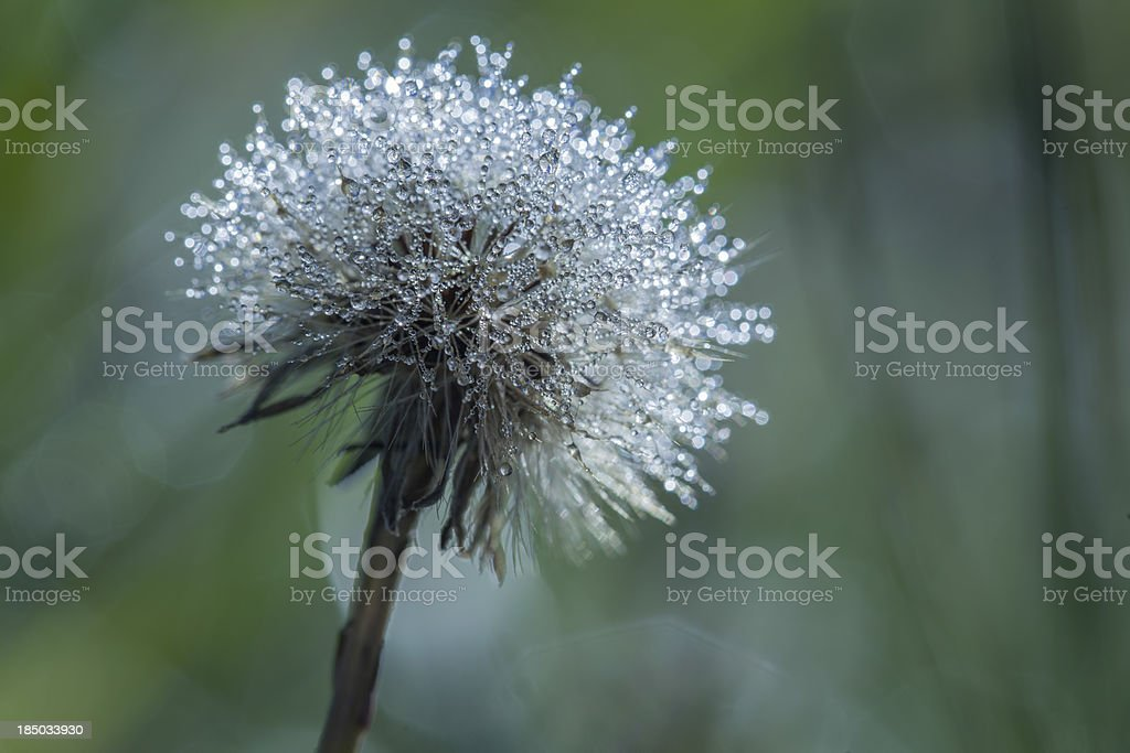 Early morning dew on dandelion royalty-free stock photo