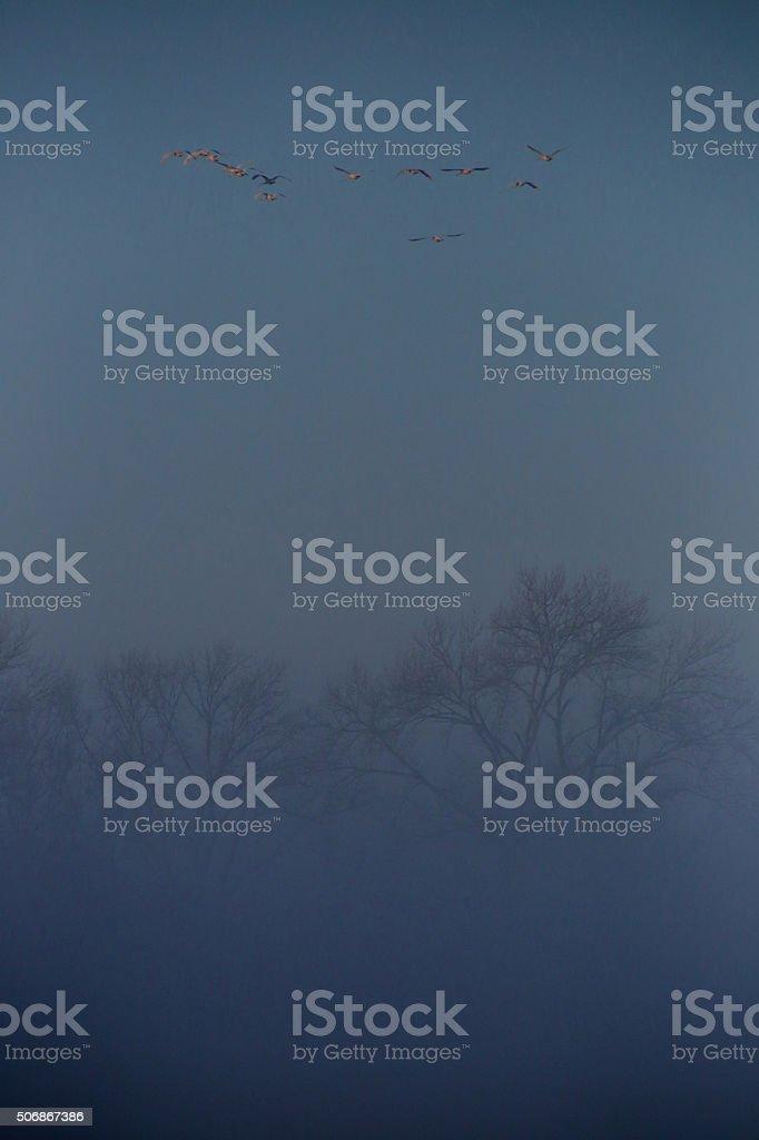 Early Morning Flight of Swans Above Foggy Marsh stock photo