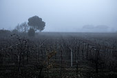 Early morning fog in the vineyard