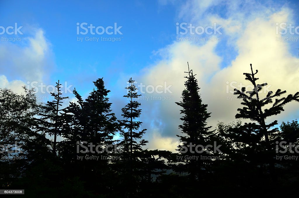 Early morning forest: trees silhouette stock photo