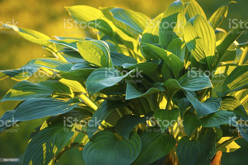 Early Morning Hostas stock photo