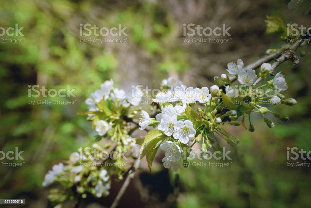 Early morning in the cherry orchard. stock photo