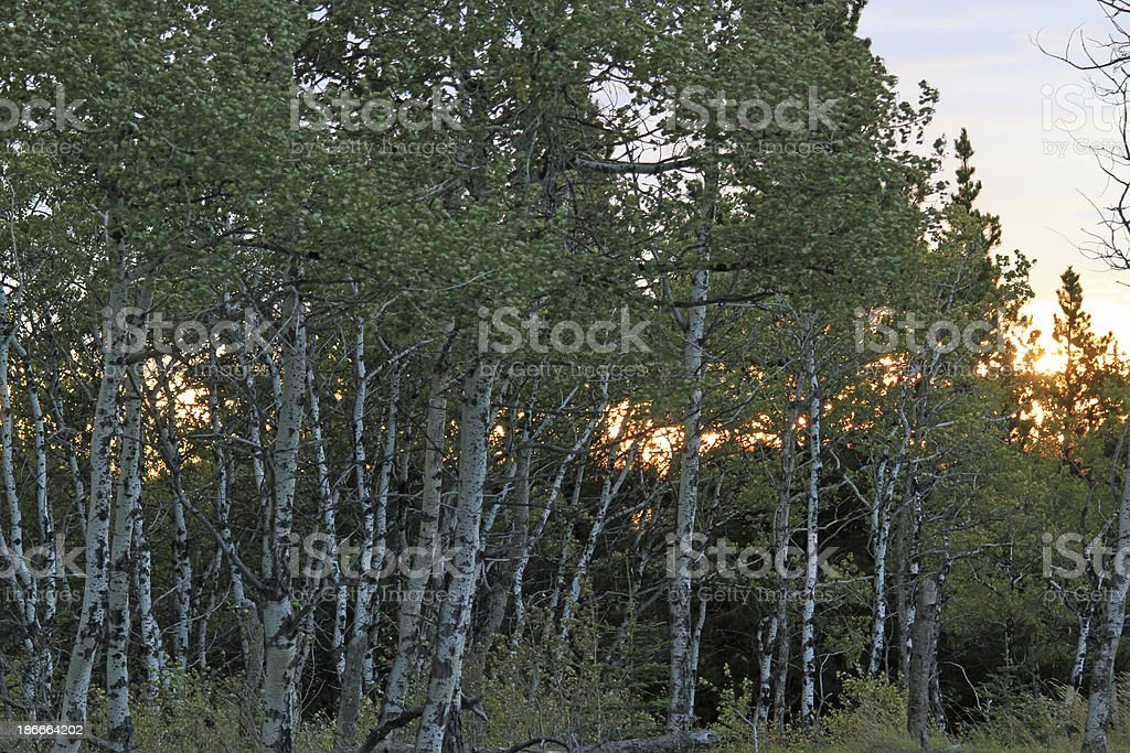 Early Morning in Trees royalty-free stock photo