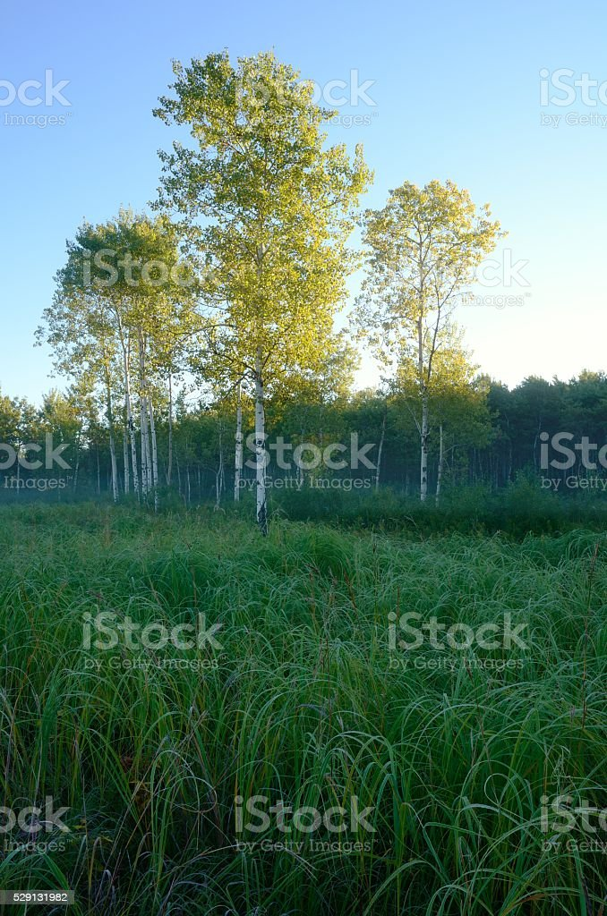 Early Morning Light on Aspen Trees in Meadow stock photo