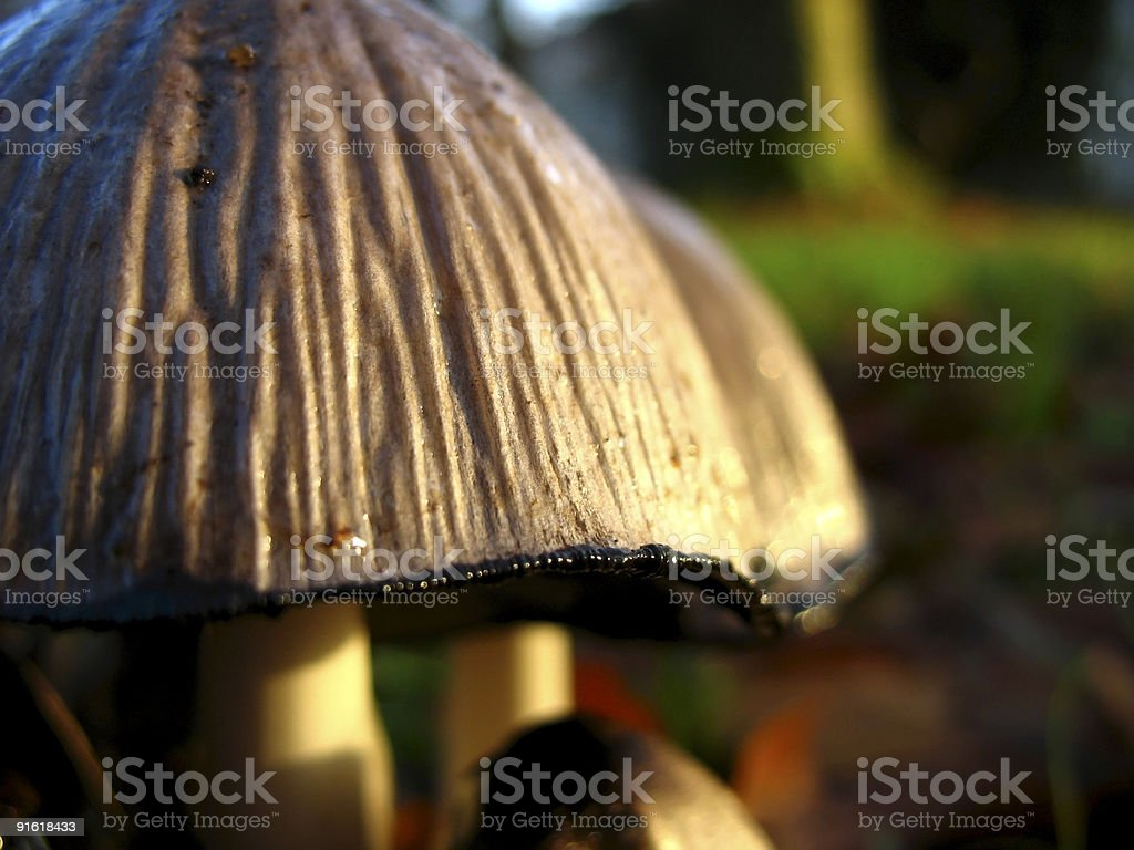 Early Morning Mushrooms royalty-free stock photo