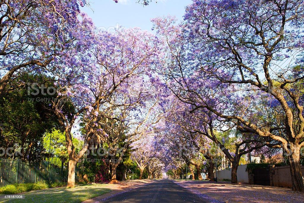 Early morning street scene of jacaranda trees in bloom stock photo