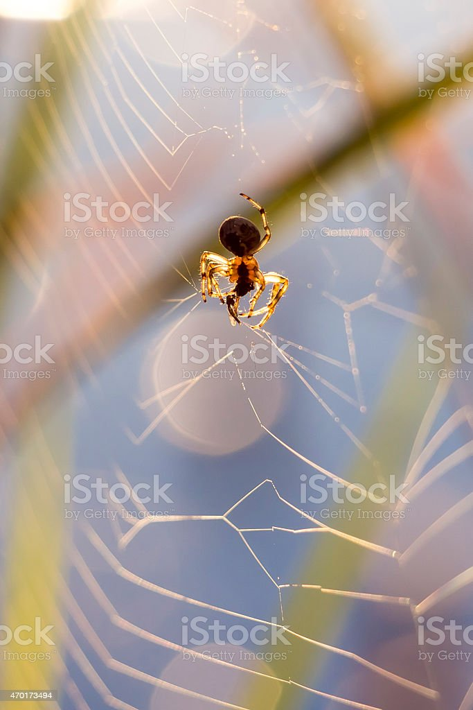 Early morning, sunrise macro spider hunting at the river stock photo
