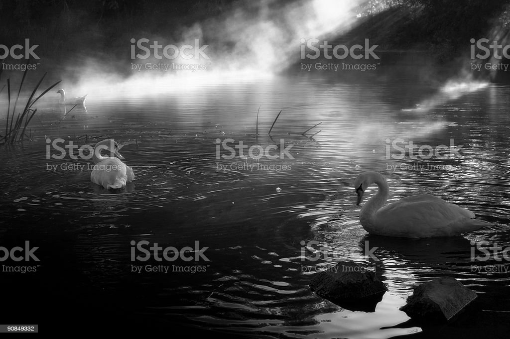 Early Morning Swans stock photo