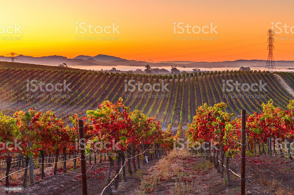 Early Morning Vieyard in Napa Valley California stock photo