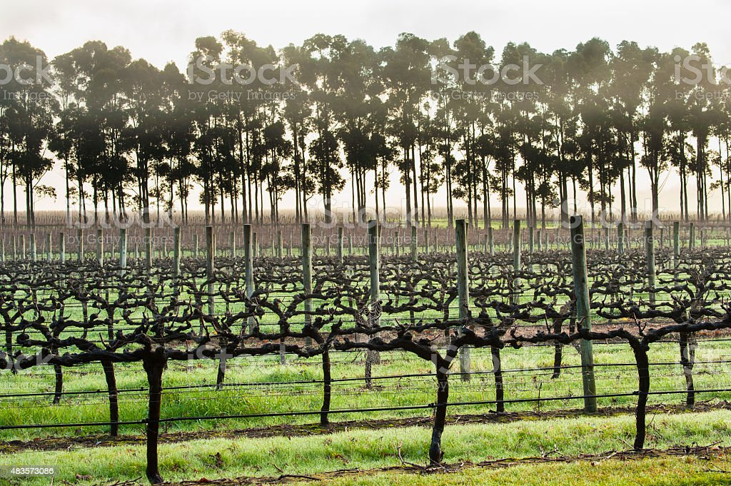 Early Morning Vines stock photo