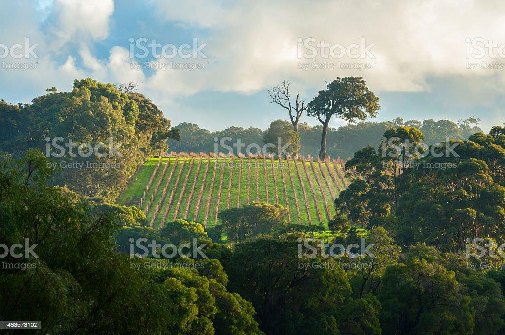 Early Morning Vineyard stock photo