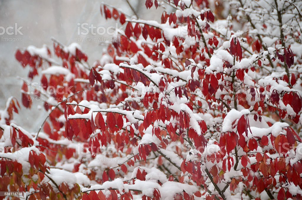 Early Snow on Burning Bush stock photo