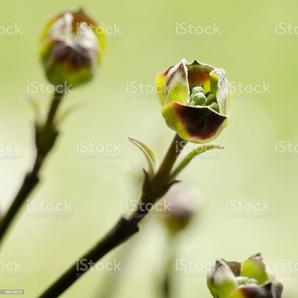 Early Spring Buds on a Flowering Dogwood Tree Square stock photo