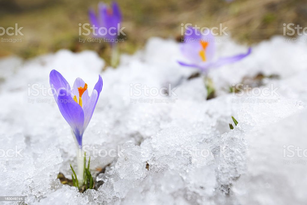 Early Spring Crocus Flower in Snow royalty-free stock photo