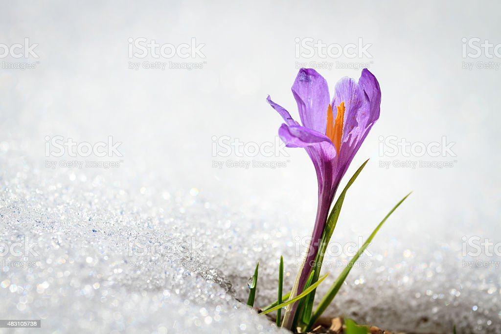 Early Spring Crocus in Snow stock photo