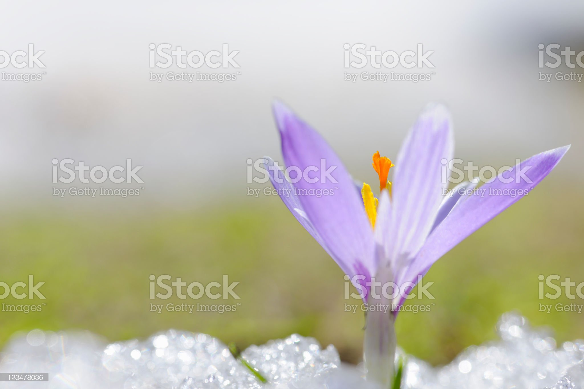 Early Spring Crocus in Snow series royalty-free stock photo