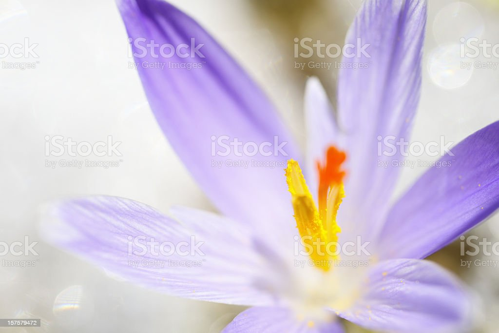 Early Spring Crocus in Snow series stock photo