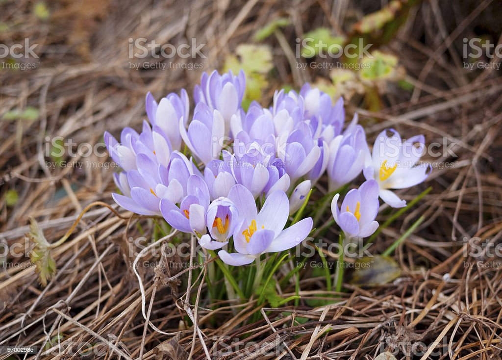 Early Spring Crocuses royalty-free stock photo