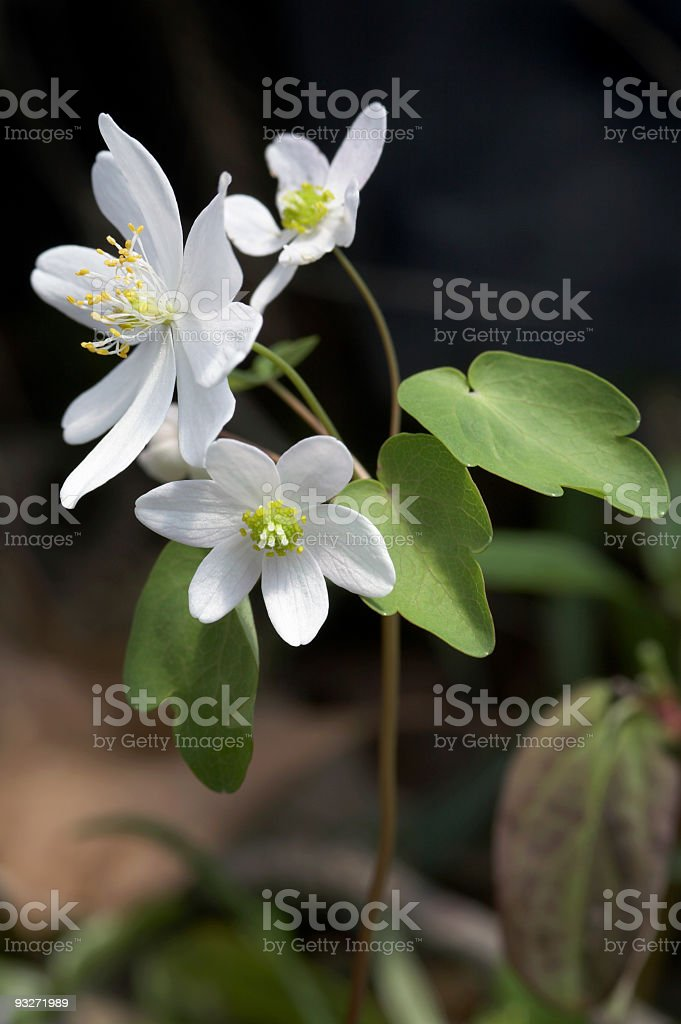Early Spring Flowers - Hepatica royalty-free stock photo