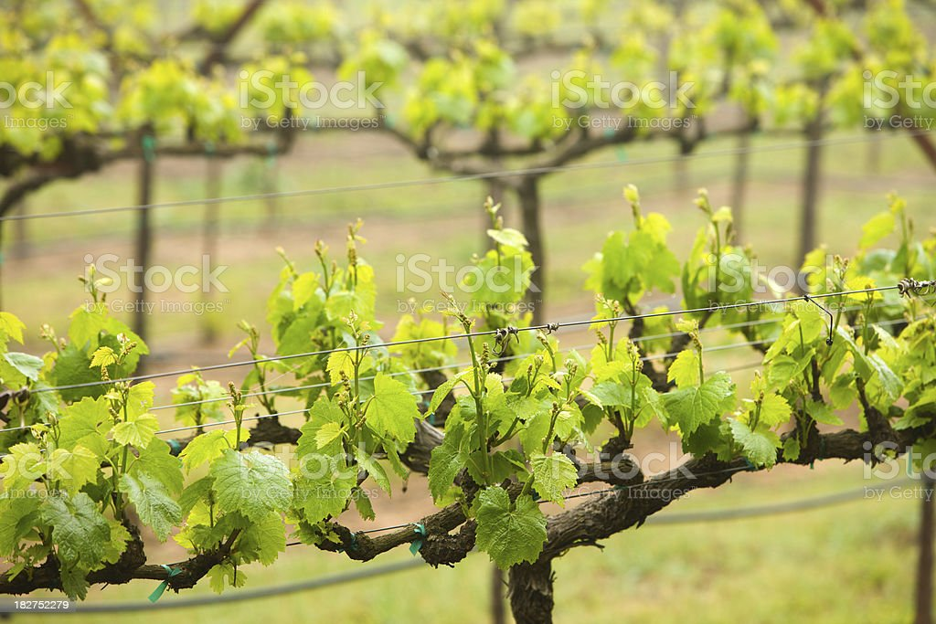 Early spring grape vines in Napa Valley, California. royalty-free stock photo