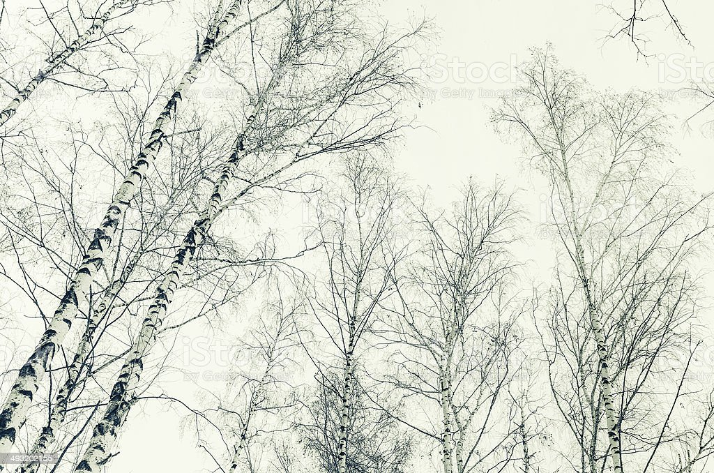 early spring in a birch forest. sepia image royalty-free stock photo