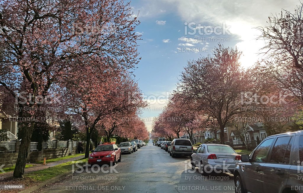 Early Spring Morning On Cherry Blossom Avenue stock photo