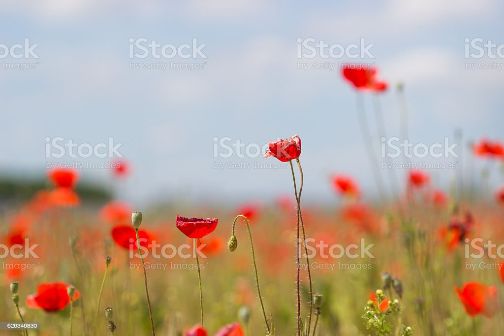 Early spring poppy flowers,blurred background / flower blurry background stock photo