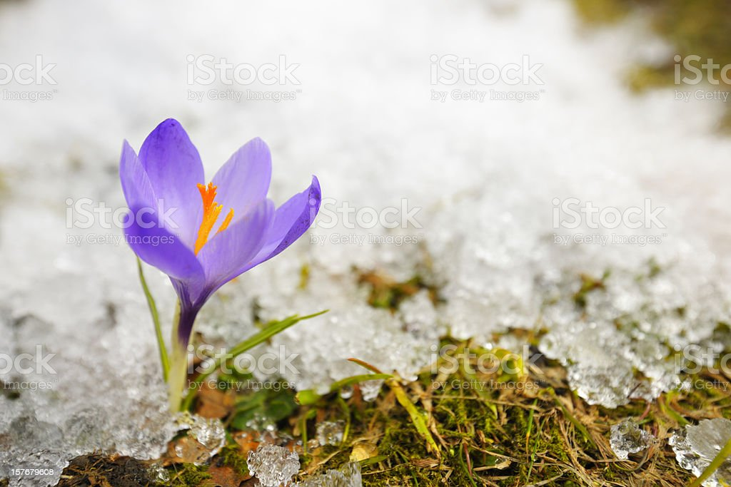 Early Spring Purple Crocus Flower in Melting Snow stock photo