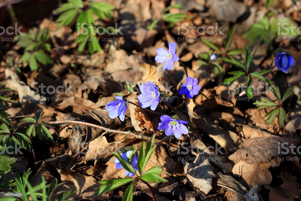 Early spring wildflower (Common Hepatica) in forest stock photo