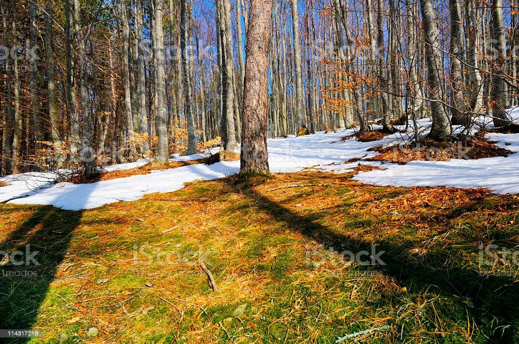 Early Spring Woodland Scene royalty-free stock photo