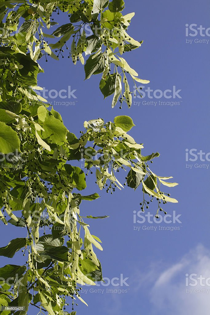 Pale yellow lime tree fly-away seeds royalty-free stock photo