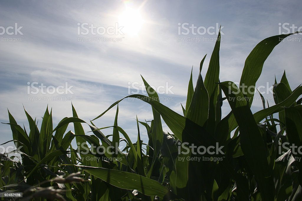 Early Summer Corn stock photo