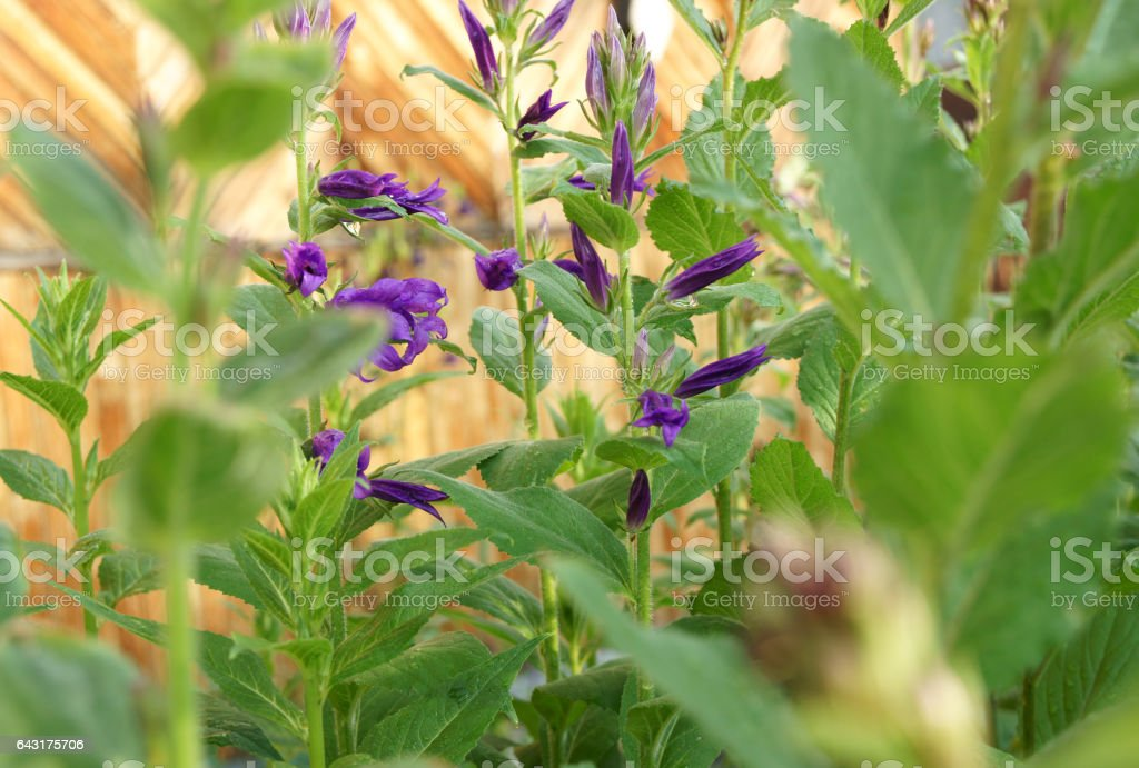 Early summer purple flowers stock photo