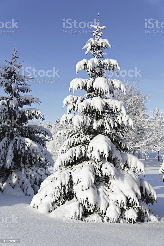 Early Winter Morning Blizzard Evergreen stock photo