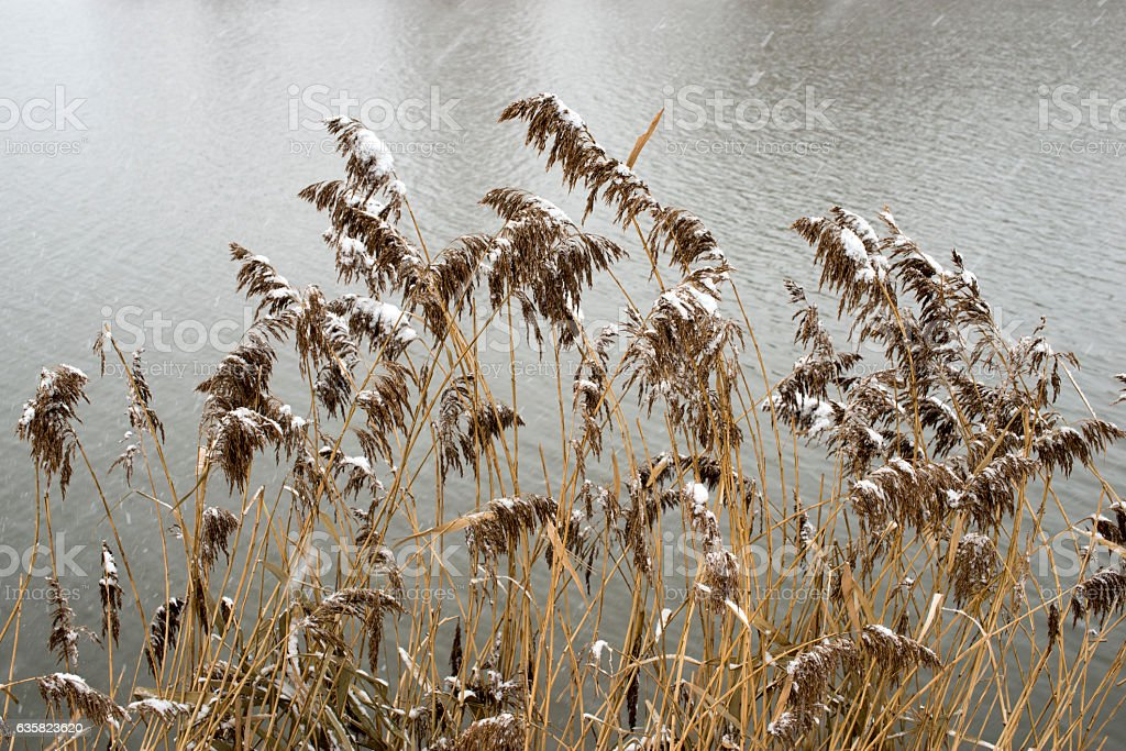 early winter reeds stock photo