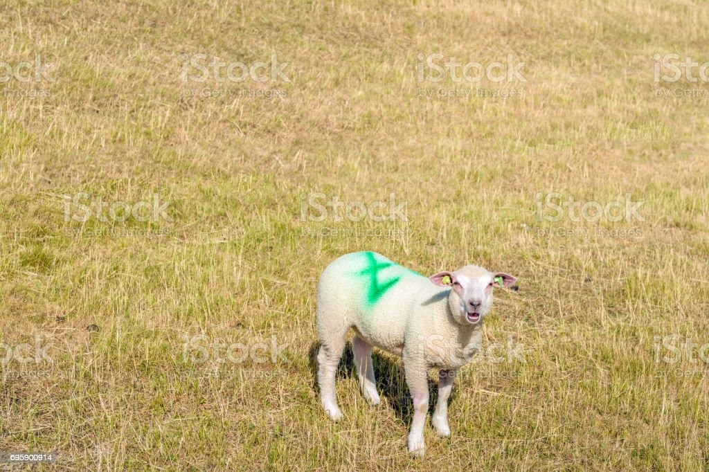 Earmarked lamb is bleating on the slope of an embankment with yellow grass. stock photo