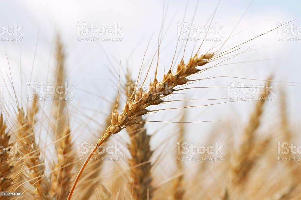 Ears full of grain #1 royalty-free stock photo